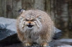 猫科动物表情包:兔狲,家猫那么大,是怎么把自己活成一代猛兽的
