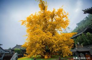 爆红网络的西安千年银杏,之所以长得如此壮观,只因一口神秘古泉