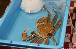 """它被誉为蟹中的""""兰博基尼"""",一只320000元"""