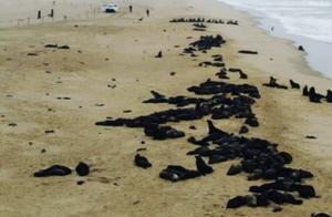 纳米比亚海岸惊现7000多头死亡海豹 死亡原因仍在调查中