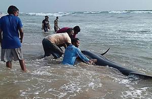 """拯救领航鲸!继470头后又有100头,为何它们要""""自寻短见"""""""