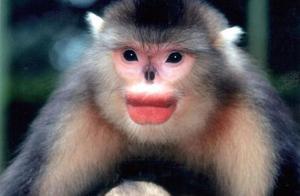 滇金丝猴,有美丽的烈焰红唇,却文静的像个君子