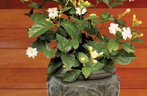我的茉莉花从春节开到秋季,有几个条件要满足,否则花朵越来越少
