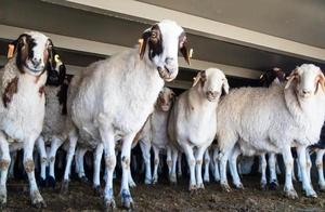 蒙古国捐赠羊都发哪儿了?湖北公布明细→