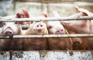 农业农村部:10月生猪生产持续恢复 猪肉市场供应明显改善