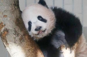 旅日大熊猫香香今年就要还回中国了 日本:想商量延期