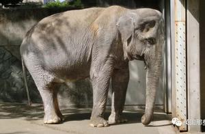 4岁被人类囚禁,孤独度过43年,这只全世界最悲伤的大象走了