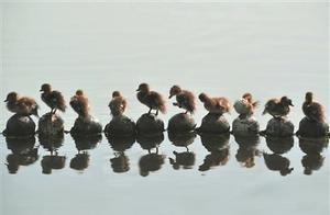 今年西湖里出生71只鸳鸯,死了18只,多数是撑死!剖开来全是瓜子、火腿肠、薯片!