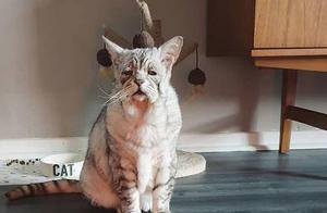 6岁猫咪患罕见的松皮症,全身皮肤松弛如老年猫