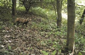 """咦?红外摄像机里闯进了两只""""毛团团""""浙江安吉意外发现一对野生的一丘之""""貉"""""""