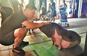 """特别的""""网红""""!深圳一奶茶店惊现110斤宠物麝香猪"""