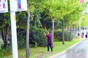 """市民为摘银杏果""""敲打""""景观树留下不文明身影"""