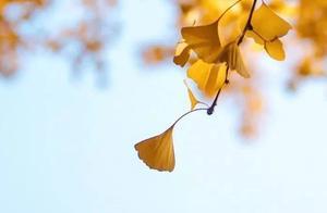 当银杏黄叶遇上故宫红墙,这样的故宫更爱了
