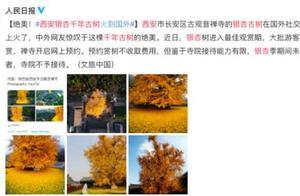 西安千年银杏古树火遍外网:被转发4万次,中外网友惊叹绝美