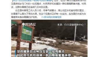 四川甘孜拍到国家一级保护动物白唇鹿:下山找水源