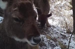 """""""神鹿""""下山!四川拍到珍惜白唇鹿 万年历史动物至今只剩7000只"""