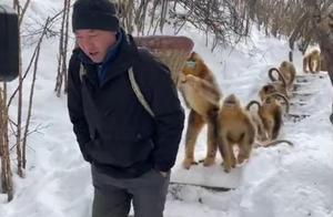 金丝猴等野生动物寒冬觅食难,神农架国家公园大规模野外补食