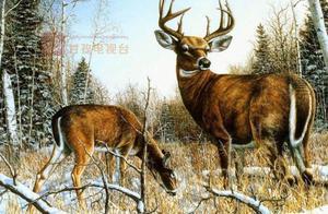 震撼航拍!大批野生白唇鹿群现身石渠雪山,萌萌的高原精灵美化了