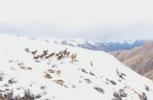 四川甘孜:大批野生白唇鹿现身石渠雪山