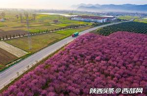春天里的陕西|乍暖还寒 陕西勉县千棵美人梅与百亩油菜花竞春光