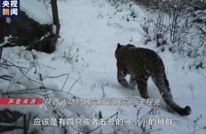 陕西首次在自然保护区外监测到金钱豹实体 种群数量稳定增长