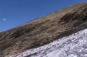 甘孜色达:牧民拍到野生白臀鹿群雪山间追逐嬉戏