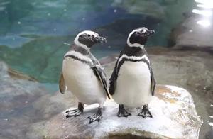 """来围观!看看曲江海洋极地公园麦哲伦小企鹅""""蛋""""生记,超萌!"""