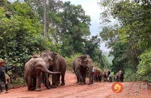 """国际游客数因新冠疫情骤减80% 泰国大象""""失业""""徒步返乡"""