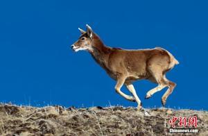 四川炉霍:摄影师突遇百余只国家一级野生保护动物白唇鹿