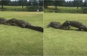 """超惊悚鳄鱼互咬!""""半个头被咬住""""搏斗长达2小时"""