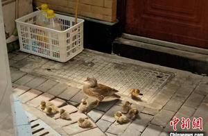 西湖鸳鸯频频现身杭州街头 疫情下水鸟数量增加