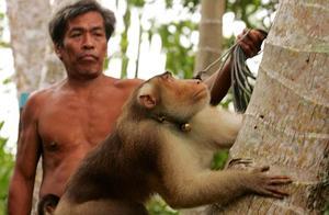 """椰奶遭英零售商禁止进口,泰国称已经不用""""奴隶猴子""""摘椰子"""