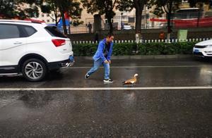 西宁昆仑路上飞来野生赤麻鸭