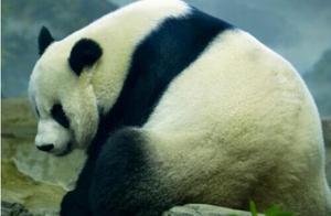 大熊猫美香可能怀孕了,可把美国人高兴坏了
