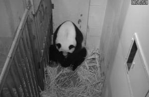 旅美大熊猫成功产崽 美国民众:黑暗中唯一的好消息