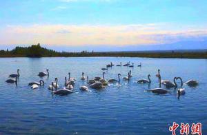 生态环境优良 新疆伊宁又添一处疣鼻天鹅栖息地
