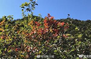 北京香山红叶观赏期今天开始