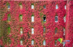 秋天的颜色!剑桥大学满墙爬山虎变红色