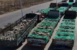 看到真羊了!蒙古国捐赠首批4000只活羊已入国境