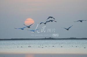 大天鹅大规模回迁山东荣成越冬