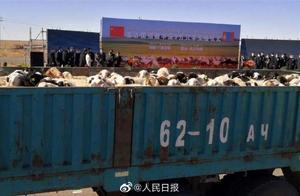 首批4000只蒙古捐赠羊入境现场图来了