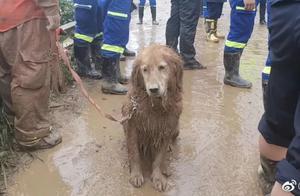 """让全国网友心疼的搜救犬""""图图""""退休后成小区明星,主人:现在天天拆家呢"""