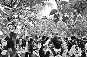 """香山昨日再迎赏红高峰""""游客较多"""""""