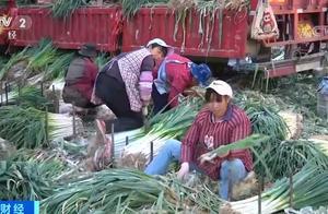 大葱有点贵 昆明市场大葱价格几天之内涨了两倍多