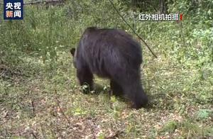 胆颤心惊!小兴安岭首次找到东北虎吃熊证据,网友:不愧是万兽之王