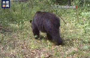 小兴安岭首次找到东北虎吃熊的影像证据:老虎吃熊事件追踪