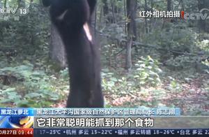 小兴安岭首次找到东北虎吃熊证据,亲历者至今仍胆颤心惊