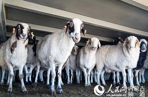 """牵动人心的""""羊羊羊"""":蒙古国3万只羊是如何体检的"""