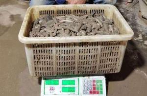 揭秘长江水产地下产业链:浙江鱼贩雇人到上海崇明抓跳跳鱼,每斤毛利最高5倍