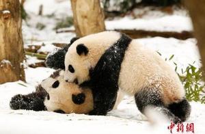 """华盛顿动物园澄清大熊猫""""照顾不周""""传闻:""""美香""""母子健康"""